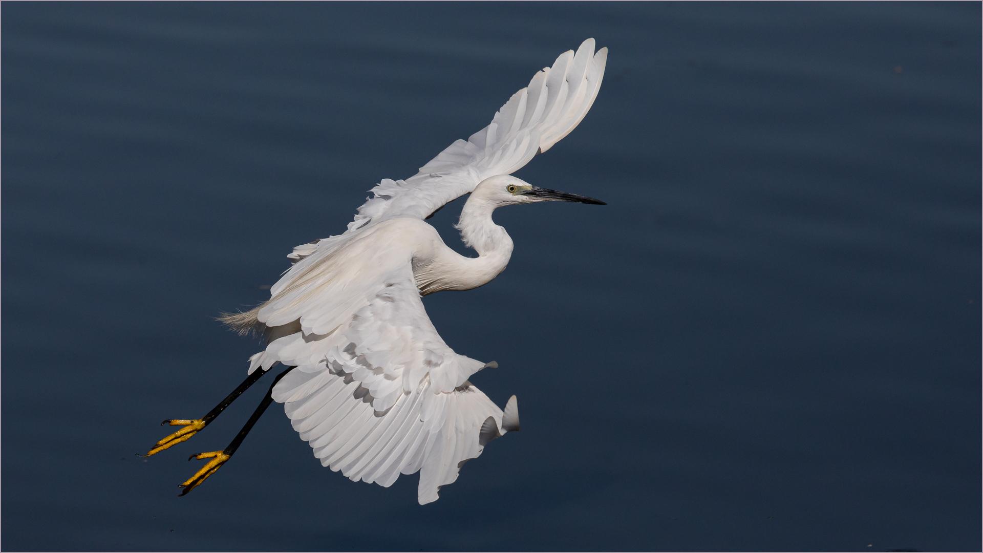 Little Egret Wing Display – Mark Dutton