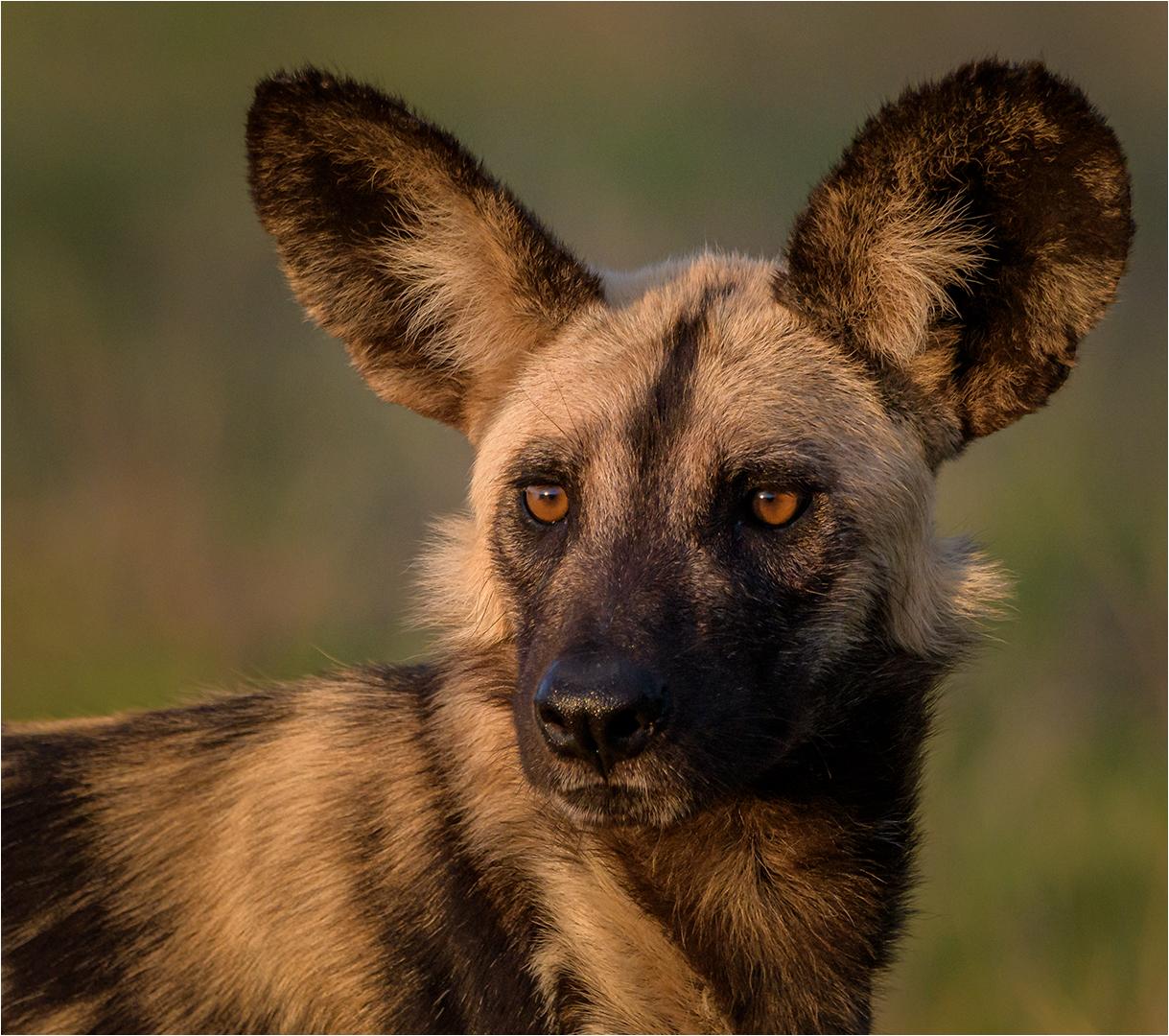Wild dog portrait – Willie Labuschagne
