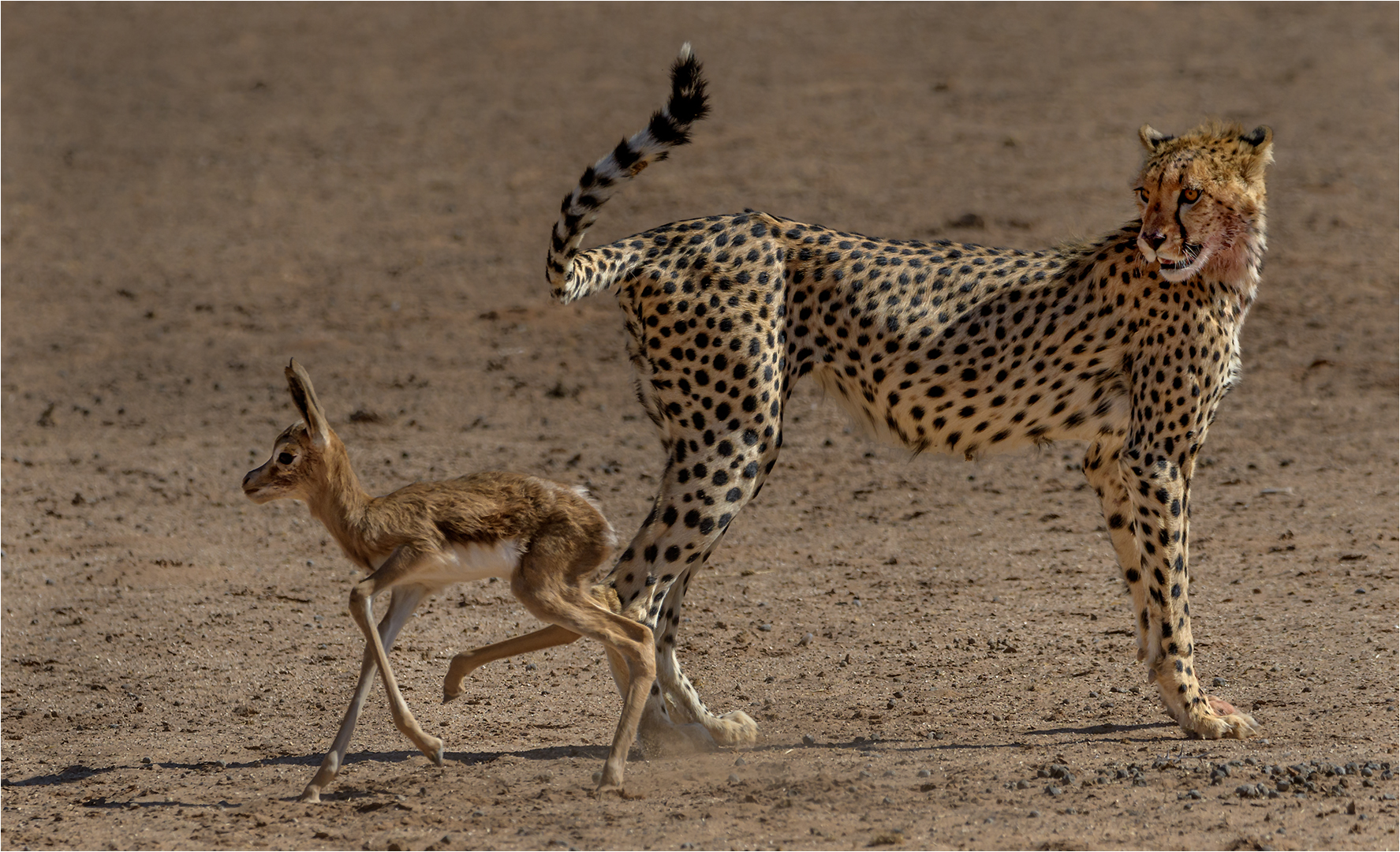 Cheetah keep eye on pray – Willie Labuschagne