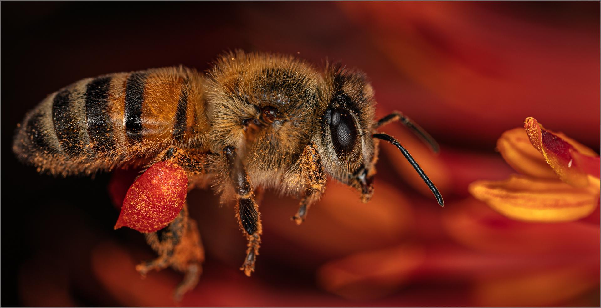 Bee on Orange Aloe – Mark Dutton